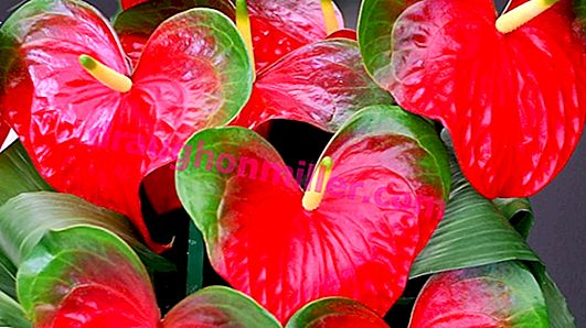 Anthurium: features of care, pests, diseases and their treatment