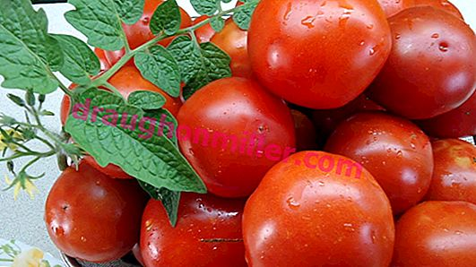 Sanka: a popular variety of early tomatoes