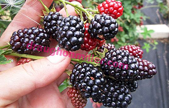 Blackberry Loch Ness: variety description and cultivation features