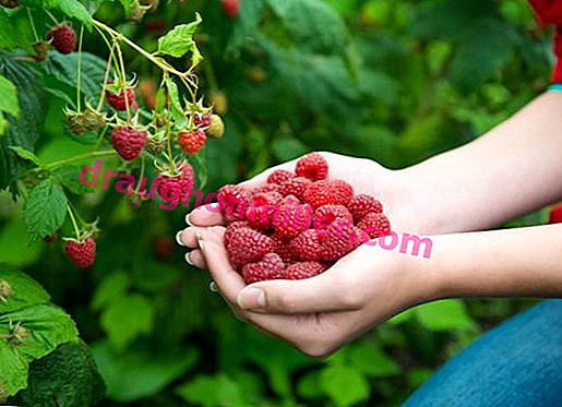 Remontant raspberry Polka - the favorite of gardeners, bearing fruit until the first snow