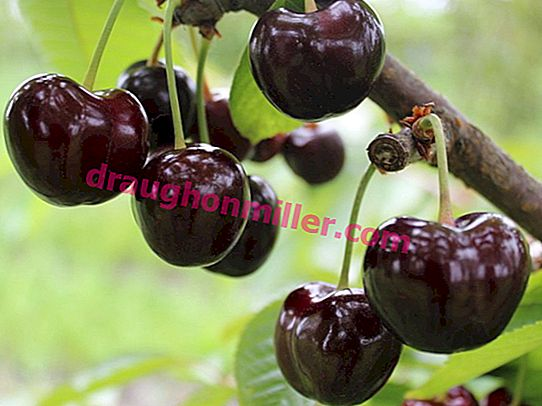 Cordia sweet cherry - a popular variety from the Czech Republic