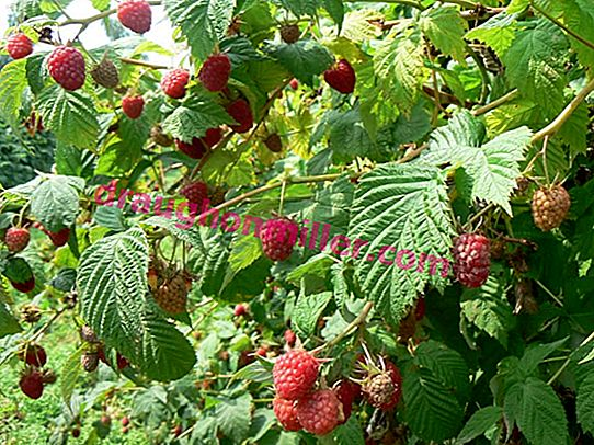 Fragrant raspberries Meteor - one of the earliest varieties