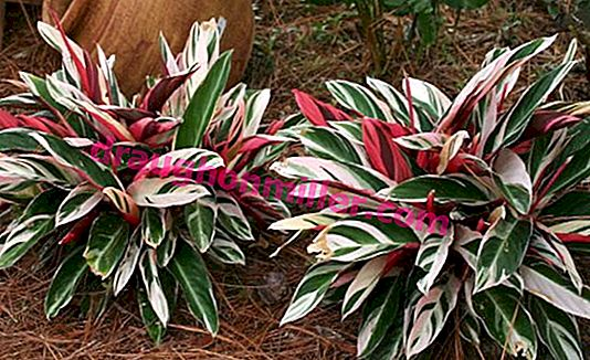 "Maranta: caring for a ""praying"" plant at home"