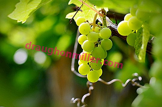 Crystal: all about growing a popular grape variety