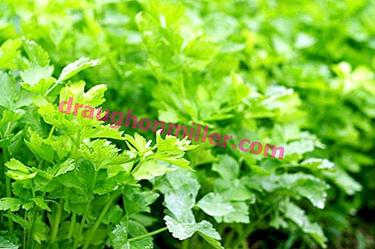Leaf celery - popular varieties and features of cultivation