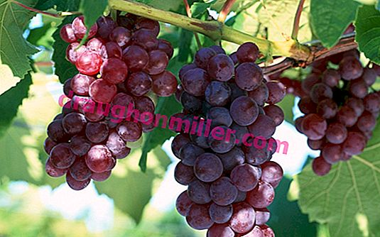 The Adventures of Lydia: History and Description of the Most Popular Grape Variety